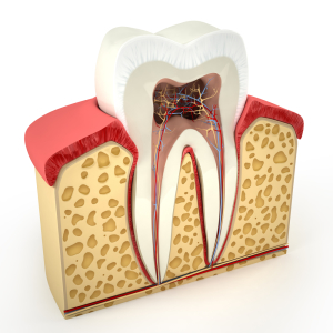 layers of a tooth