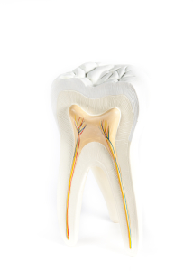 model of tooth and root canals