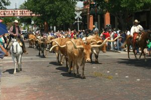 Texas History In Fort Worth The Fort Worth Cattle Drive Steven M Huffstutler Dds
